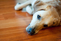 dog on hardwood flooring